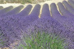 Meine Lavendel-Sammlung auf Pinterest